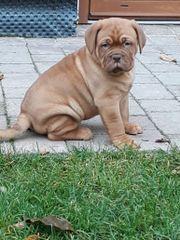 Bordeaux dogge Welpen