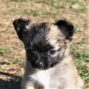 Süßes aufgewecktes Chihuahua-Mädchen