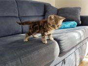Süße BKH-Kitten mit Stammbaum pünktlich