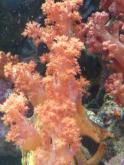 Korallenableger, ca 50