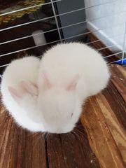 Zwerg Kaninchen Babys