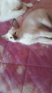 Balinesen- und Orientalisch Langhaar Kitten