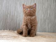 BKH Kitten - Kater