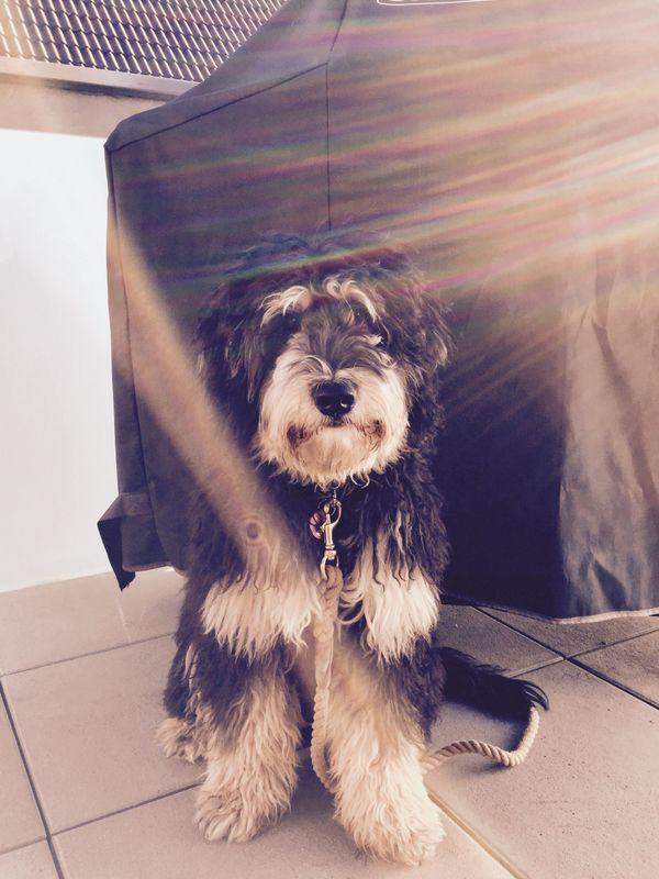 Oscar sucht Gassiservice Gassigänger Spielkameraden Betreuung - Forchheim - Oscar sucht ab dem 18.06.2018 einen Hundeliebhaber, wünschenswert mit Erfahrung, für regelmäßige mittägliche Spaziergänge und Bespaßung rund um Forchheim/Kersbach. Oscar ist ein Bernedoodle, haart daher nicht, ist ein Jahr alt und ein l - Forchheim