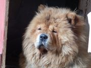 Chow Chow in