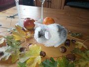 NHD und Minilop Kaninchen abzugeben