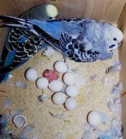 macaws and amazon parrot egg