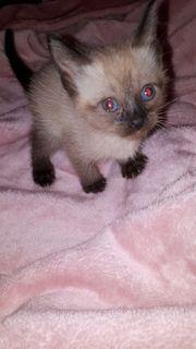 Siam Thai Katze Baby Mädchen