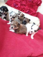 Pomchi Babys - Pomeranian Zwergspitz x