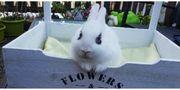Kaninchen Hasenjungs 13 Wochen alt
