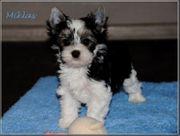 Biewer Yorkshire Terrier Rüden-Mini und