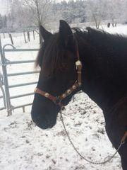 Merens Pony Stute