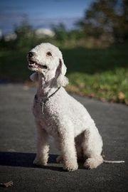 Bedlinton Terrier
