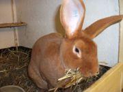 Rex Kaninchen Gelb Kurzhaar Hase