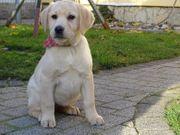 Labrador schwarz gelb reinrassig