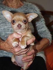 1 Chihuahua-Hündin blaucreme-sable