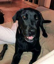 BULLY sehr lieber Labrador