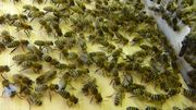 Bienenvolk Carnica - 2-