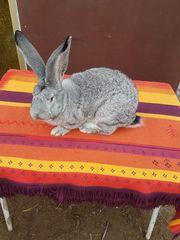 Kaninchen Deutsche Riesen Chinchilla
