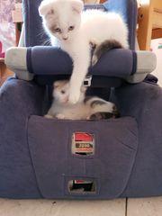 Süsse BKH und fold Kätzchen