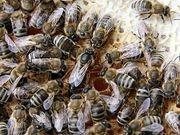 Bienenableger Bienenvolk Bienen Bienenvölker Carnica