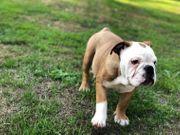 English Bulldog 5 schöne Welpen