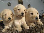 Labradorwelpen schoko blond und schwarz