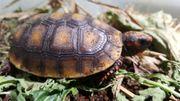 Köhlerschildkröte Chelonoidis carbonaria Eigene Nachzucht