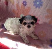 Super süße Bolonka Biewer-Yorkshire-Terrier Welpen