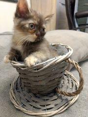 kleine Mädchen Britische Kurzhaar Katze