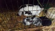 Zwergkaninchen und Kaninchen