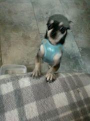 Teacup Mini Chihuahua